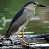 800px-Nycticorax_nycticorax_5